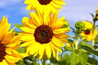 Close up of a sunflower (Helianthus annuus).