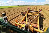 Agricultural bulb harvest.