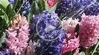 Watering hyacinths.