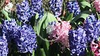 Varied hyacinths.