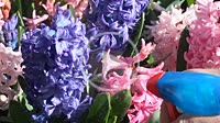 Spraying hyacinths.