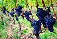 Ripe Pinot Noir grapes hanging on lush green grapevines, vineyards, Mont-sur-Rolle, literally Mont on Rolle, Nyon district, canton Vaud, Switzerland, ...