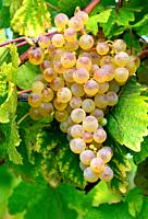 Muscat Ottonel, Bunch of ripe white grapes ready for harvest, Fechy vineyards, district of Morges, La Côte , Canton Vaud, Switzerland, Europe
