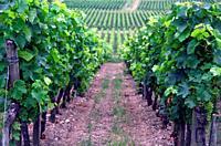 Wine tourism, Vineyards in begining of July, Belvès-de-Castillon near Coutras, Bordeaux wine region, Gironde department, Département Gironde, region A...
