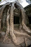 Strangler Fig Tree (Ficus gibbosa) roots on wall, Ta Prohm temple, Angkor complex, Siem Riep, Cambodia.