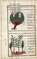 Identified in the book as two varieties of Sweet flag. Acorus calamus. After an illustration by Mirza Baqir in a 19th-century Iranian book of Greek ph...
