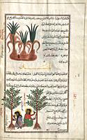 The plant at top unidentified in book. BELOW: Balsam tree. Commiphora. After an illustration by Mirza Baqir in a 19th century Iranian book of Greek ph...