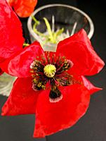 Close-up of a red poppy on black background.