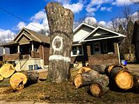 A 100 year old Maple tree on an urban street chopped down, Ontario, Canada. Big sections of the trunk on the ground.