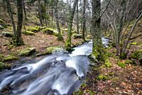 Stream, rocks, moss, birchs and pines. Sierra de Guadarrama. Madrid. Spain. Europe.