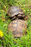 Two Turtles Mating in Macin Mountains Romania.