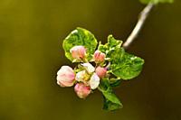 apple blossom in spring in Germany.