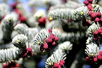 spruce with flower buds and young growing spruce cone.