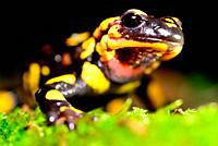 Fire salamander (Salamandra salamandra) close to a pond in Mouruas, San Xoan de Rio, Orense, Spain.