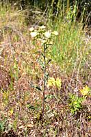 Cerraja lanuda (Andryala integrifolia) is an annual or perennial medicinal herb native to southwestern Europe, northern Africa and Macaronesia. This p...