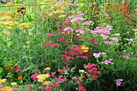 Yarrow (Achillea millefolium) ornamental varieties. Yarrow is an herbaceous perennial plant native to Europe, Asia and North America. This photo was t...
