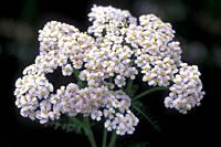 Yarrow (Achillea millefolium) is a medicinal perennial plant native to Europe, Asia and North America. This photo was taken in Val d'Aran, Lleida, Cat...