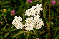 Yarrow (Achillea millefolium) is a medicinal perennial plant native to Europe, Asia and North America. This photo was taken in Andorra Pyrenees.