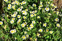 White buttons (Anacyclus clavatus) is an annual plant native to Mediterranean basin, specially in the western (Spain and northern Africa). This photo ...