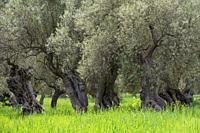 centenary olive trees of Alqueria d´Avall, Bunyola, Mallorca, Balearic Islands, Spain.