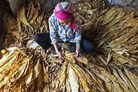 Yiliang, China - March 1, 2021: eldelry woman sorting out tobacco leaves.