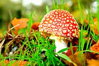 Mushrooms (Amanita muscaria) in the meadows of Mouruas, San Xoan de Rio, Orense, Spain.