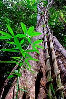 Tropical rain forest, mount matang, kuching, sarawak, malaysia, borneo