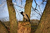 Male crow cawing while perched on a tree stump, surrounded by tree trunks. Beautiful morning of spring.