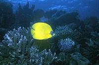 Yellow butterflyfish in a blue sea with coral. Location: Red Sea, Egypt.