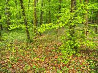 forest near Lauzun, Lot-et-Garonne Department, Nouvelle Aquitaine, France.