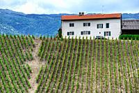'La cave de Geneve' wine region, farm in vineyards, end of May, Russin, Geneva, canton Geneva, Switzerland, Europe