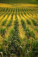Corn field. Azores islands.