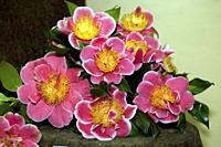 "Camellia japonica """"Tama Beauty"""" on exhibition in Furnas Valley (""""Vale das Furnas""""), Sao Miguel, Azores islands, Portugal."