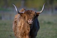 Highland Catlle-Bos Taurus. Spring. Uk.