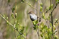 Cetti's warbler-Cettia cetti. Spring.