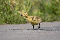 Canada Goose Gosling- Branta canadensis.