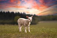 Young Lamb-Ovis aries in a field during sunset. Spring.