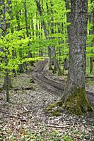 forest in springtime with first green leaves.