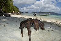 Coconut Crab (Birgus latro), Waigeo Island, Raja Ampat, Indonesia.