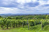 Summer vineyard nearby Strekov, Southern Slovakia.