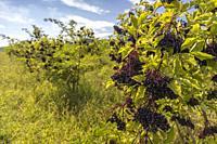 Elderberry orchard in Tokaj region, Northern Hungary.