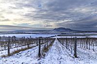 Winter vineyards under Palava near Sonberk, South Moravia, Czech Republic.