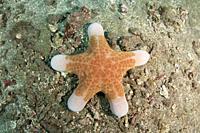 Granular Sea Star (Choriaster granulatus), Vienna dive site, Amed, Bali, Indonesia, Indian Ocean.
