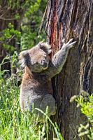 Koala, Phascolarctos cinereus. The animal is popularly called a koala bear, but is a marsupial, not a bear. Photographed in the wild on the Great Ocea...