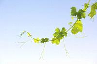 New shoot of a grape vine in springtime.