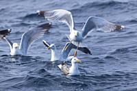 Fishing seagulls in the ocean near to Olhao, Algarve, Portugal.