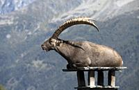 Alpine ibex (Capra ibex) on a chimney, France.