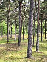 Pine tree forest in Ystad, Scania, Sweden, Scandinavia.