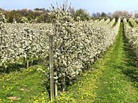 Flowering apple trees in Rörum, Simrishamn community, Scania, Sweden.