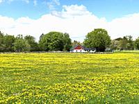 Field of dandelion in Scania, Sweden.